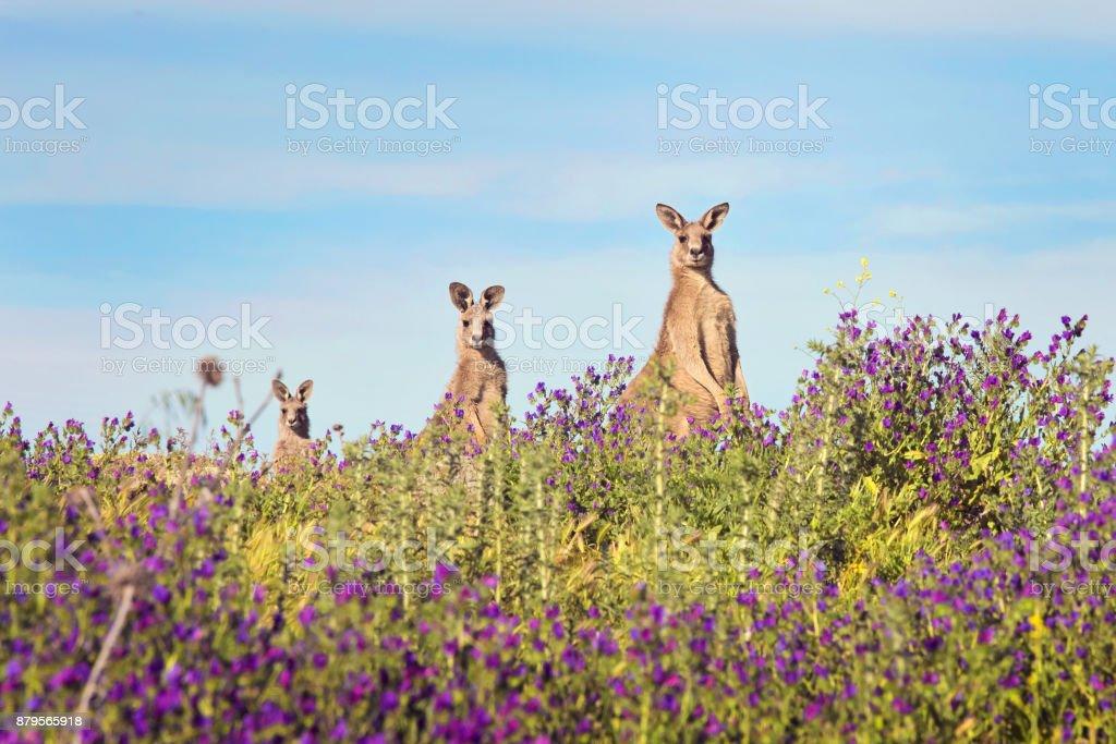Three Kangaroos on top of hill stock photo