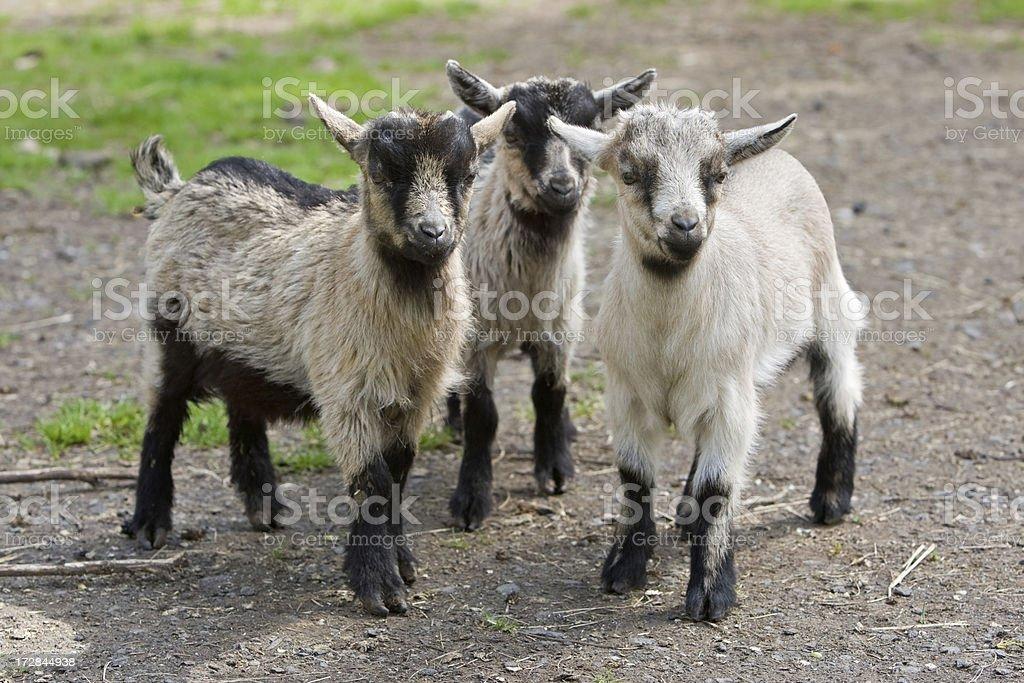 Three Kid Goats royalty-free stock photo