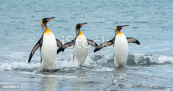 Three King Penguins appear to be using their wings and holding hands as they dance in the surf on a beach in South Georgia Antarctica