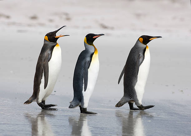 Three King Penguins on a beach stock photo