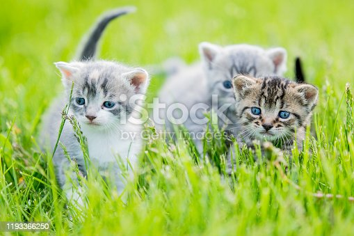 Three multi-colored kittens playfully run through the grass together.  They are each a different color and striped.  They are running through the tall grass and playing with one another.