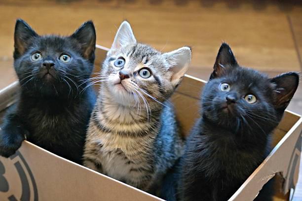 Three kittens in a cardboard box picture id539684632?b=1&k=6&m=539684632&s=612x612&w=0&h=vw4rry yl0jw m5 tjwrrkwn5p3odvhfjwls90eibka=