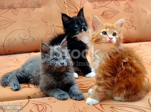 three kittens Maine Coon sitting on the couch