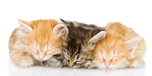 Three kittens sleep together picture id166211777?b=1&k=6&m=166211777&s=612x612&w=0&h=qsgqlk lbusiept3o2vbtud8n ohh5cfynnptqw19h4=