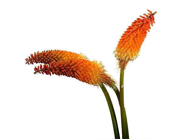 three kniphofia flowers isolated over white - torch lily stockfoto's en -beelden
