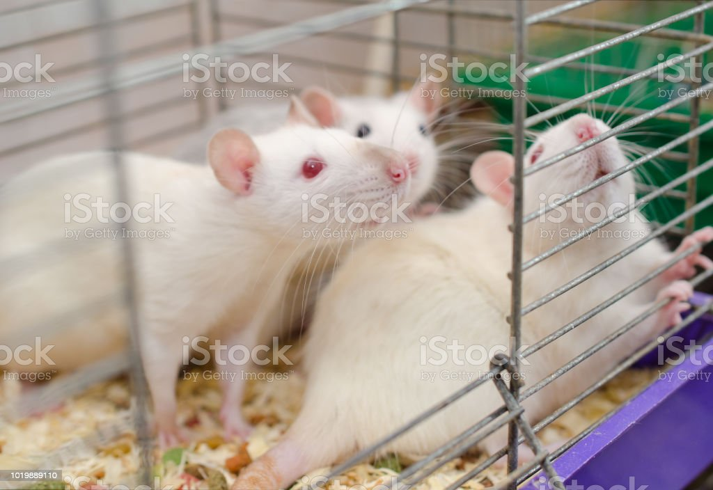 Three laboratory rats in a cage Three laboratory rats in a cage, selective focus on one of the rats Albino Stock Photo
