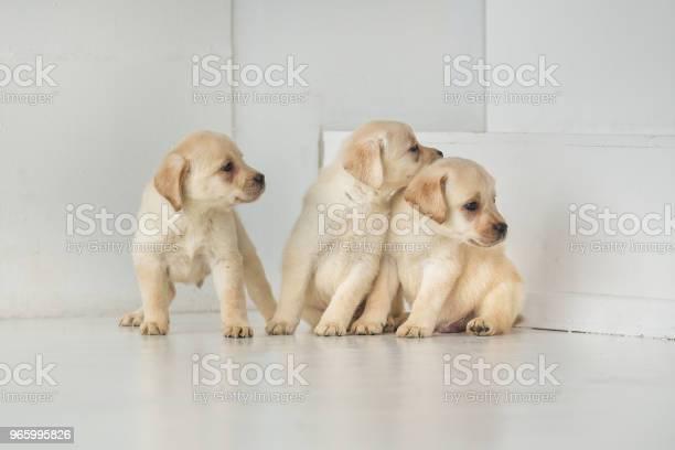 Tre Labrador Valpar Tittar Åt Sidan-foton och fler bilder på Arbetsstudio