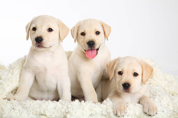 Drei Welpen Labrador – Foto