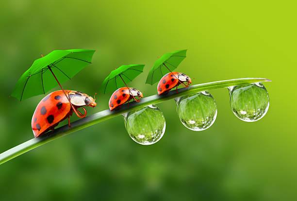 drei ladybugs mit umbrela zu fuß auf dem rasen. - regenzeit stock-fotos und bilder