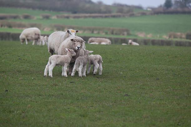 drei lambs und mutter auf der anderen - kinderlieder frühling stock-fotos und bilder