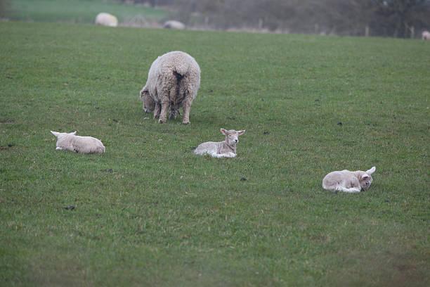 drei lambs und mutter - kinderlieder frühling stock-fotos und bilder