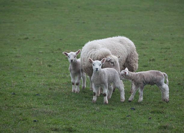 drei lambs blick nach vorn - kinderlieder frühling stock-fotos und bilder