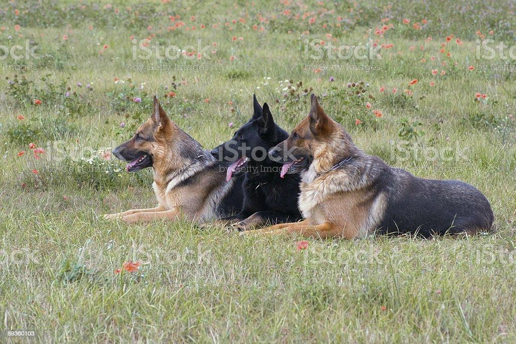 Trzy znosić niemiecki shepherds zbiór zdjęć royalty-free