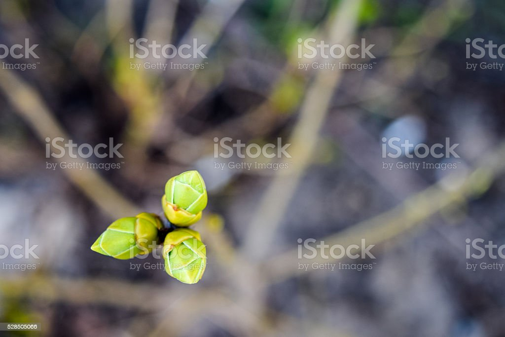 three leaf buds blooming in early spring stock photo