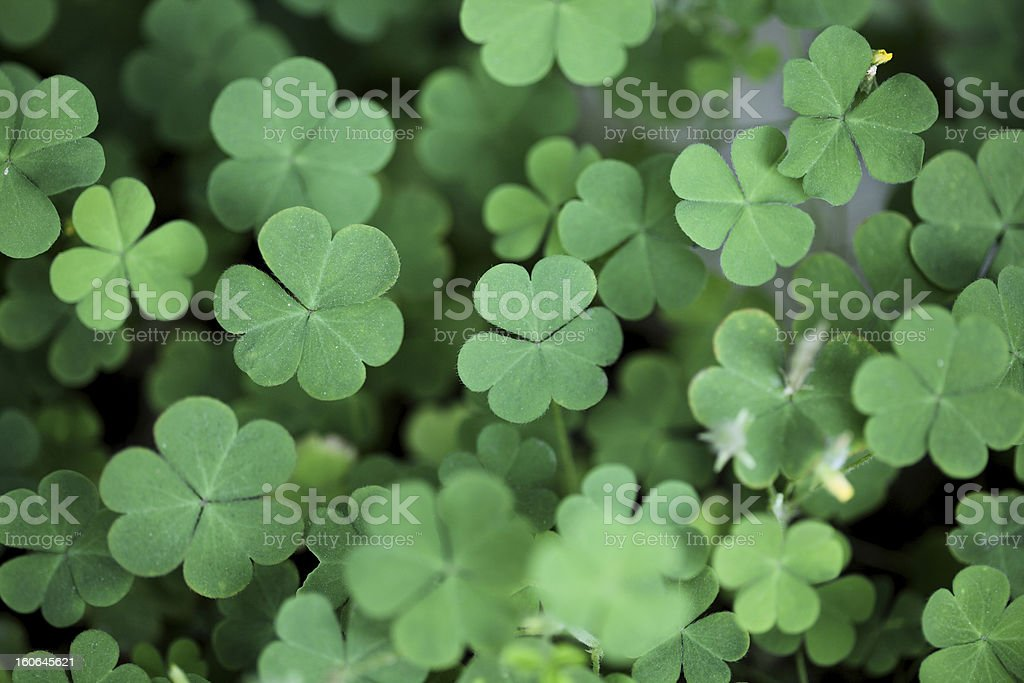 Three leaf clovers royalty-free stock photo