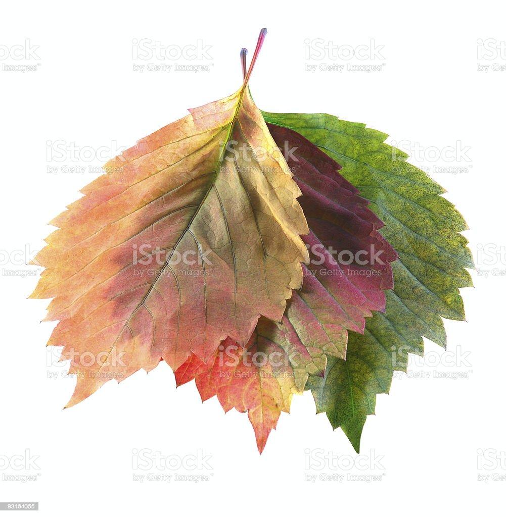 three leaf royalty-free stock photo