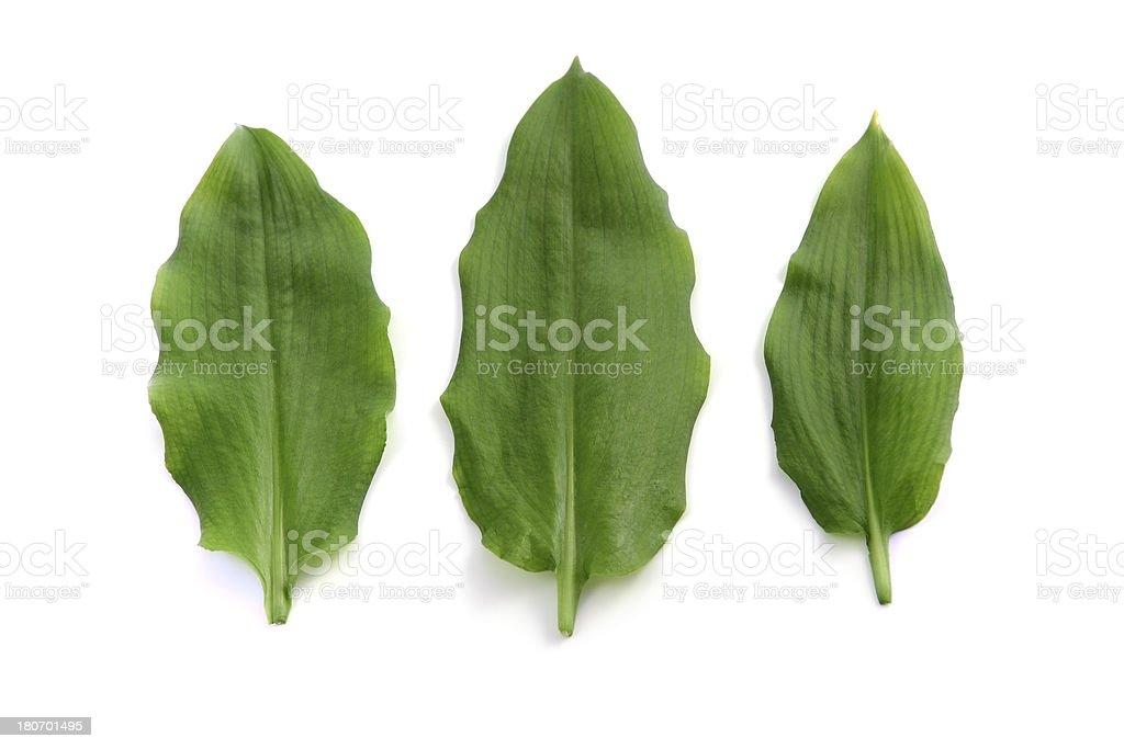 three leaves of wild garlic (Allium ursinum) stock photo