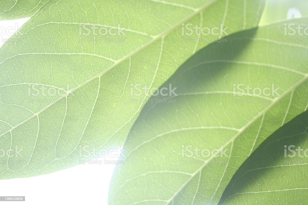 three leaves royalty-free stock photo