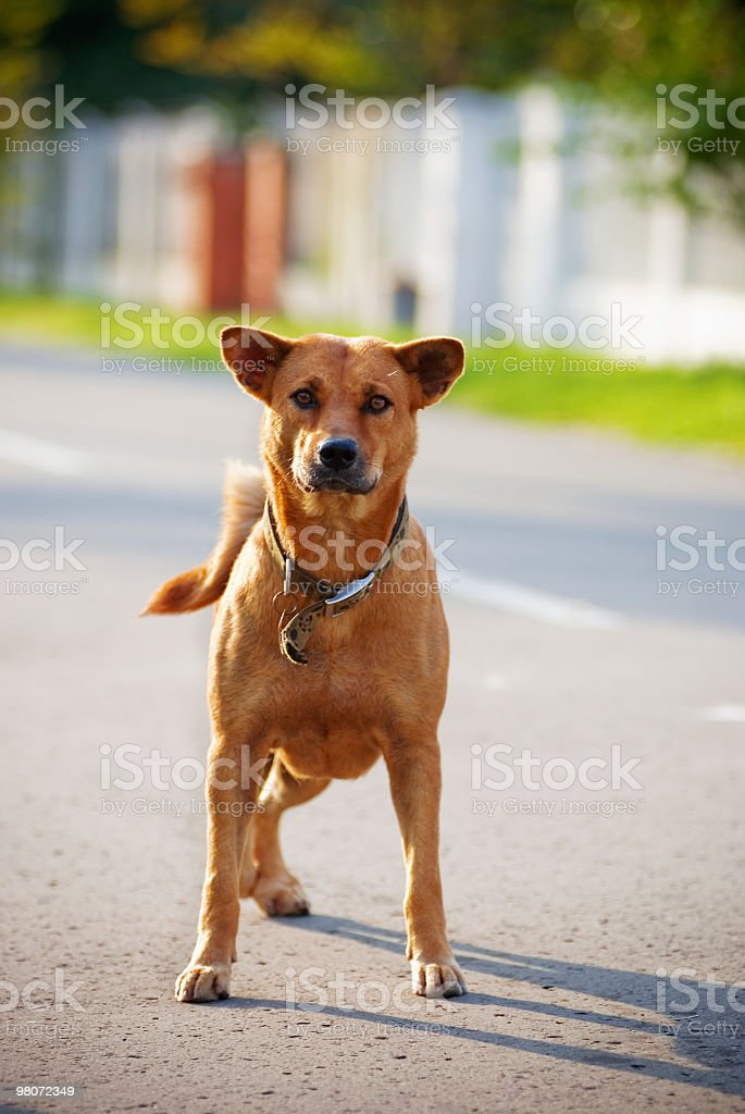 Three legged dog royalty-free stock photo