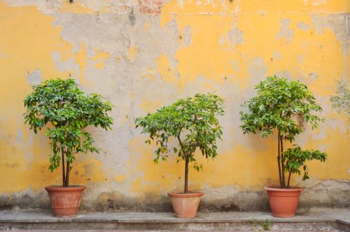 Three Lemon Trees Against an Old Wall