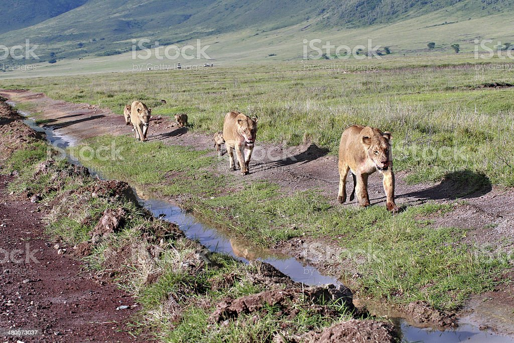 Three lioness with cubs, go along road in wild. stock photo