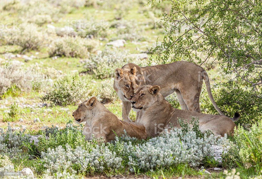 Three lionesses, Panthera leo; Etosha National Park, Namibia, Africa stock photo