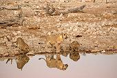 Grupo de leones (panthera leo) descansando a la sombra de un árbol cerca de Okaukejo, en el Parque Nacional de Etosha, en Namibia.