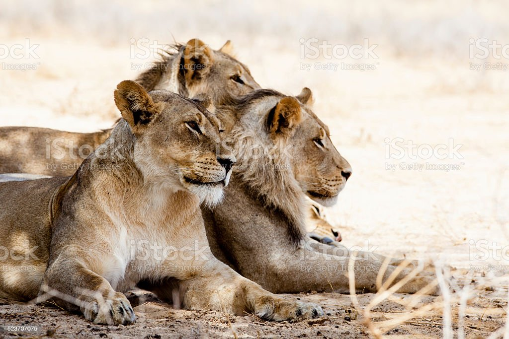 Three lions in the wild in Africa stock photo