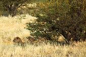 León detrás de ramas de arbusto secas buscando presas al atardecer en el Parque Nacional de Etosha cerca de Halali, Namibia