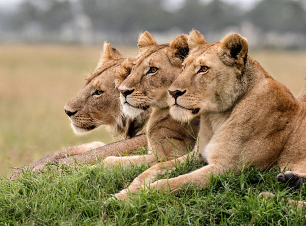 Three lions resting on a mound Three lioness resting together, heads aligned, on a mound in Masai Mara. masai mara national reserve stock pictures, royalty-free photos & images