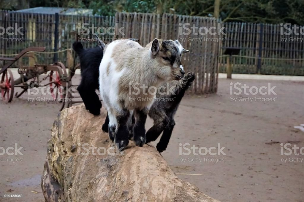 Three little baby goats on a trunk stock photo