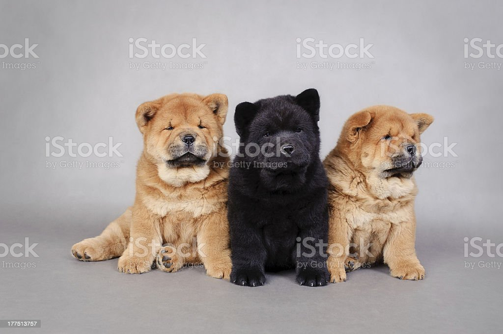 Three little Chowchow  puppies portrait royalty-free stock photo