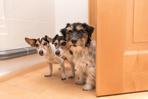 Three little dogs are looking in to the door - Jack Russell Terrier doggies in the apartment