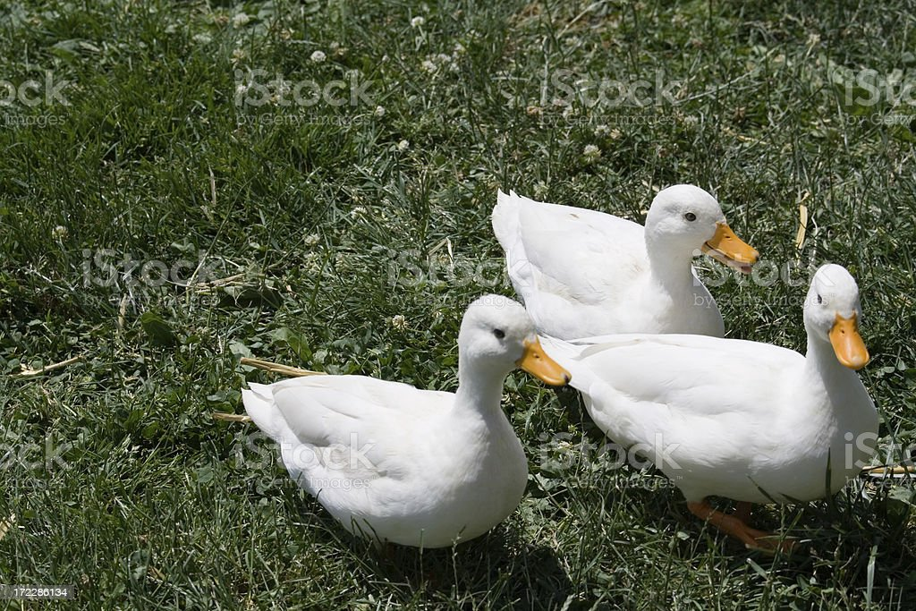 Three Little Ducks And A Green Field stock photo
