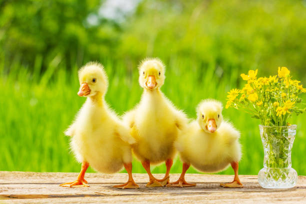 three little fluffy yellow Gosling on nature background stock photo