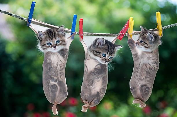 drei kleine kätzchen aufhängen in strümpfe wird von seil - horizontal gestreiften vorhängen stock-fotos und bilder