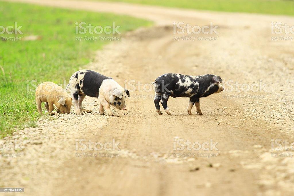 Three little piglets stock photo
