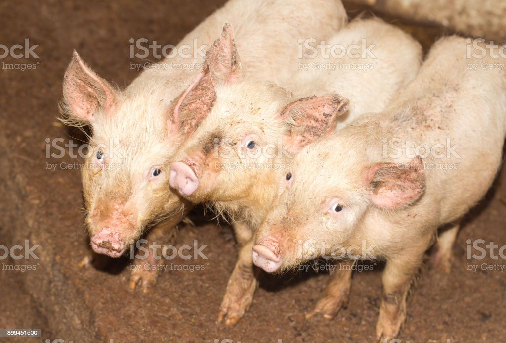 three little pigs on the farm stock photo