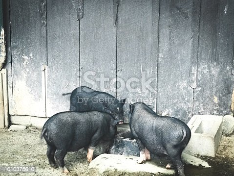 Three Little Pigs with Copy Space