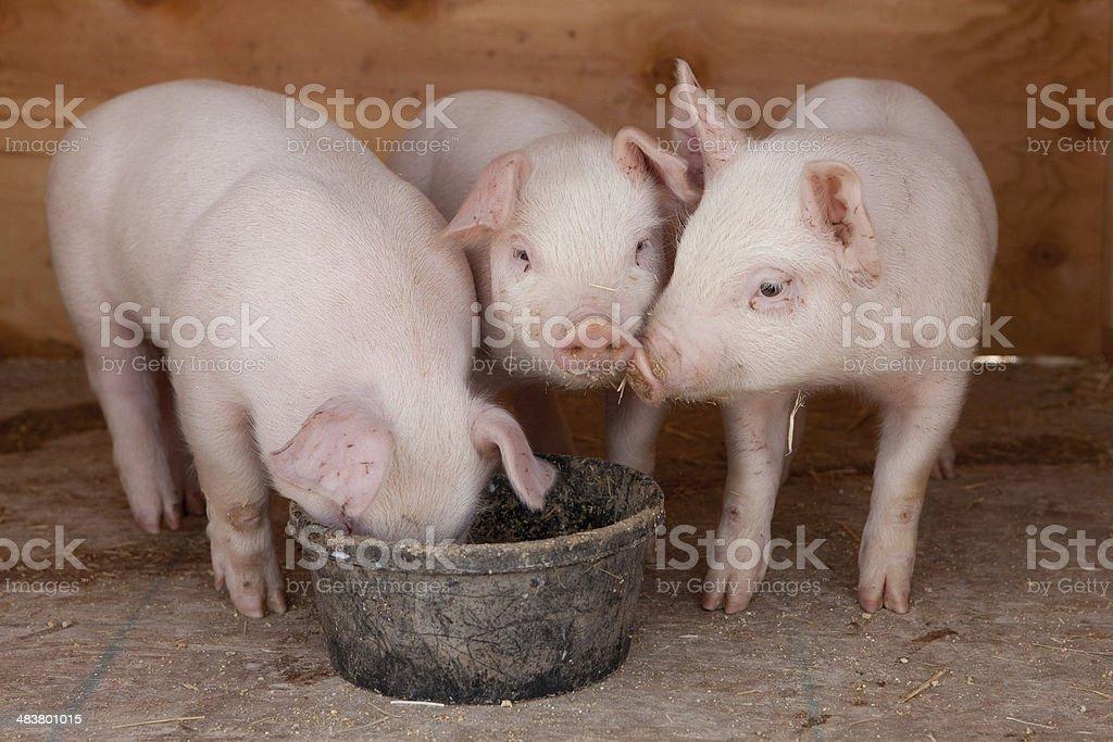 Drei kleine Schweinen – Foto