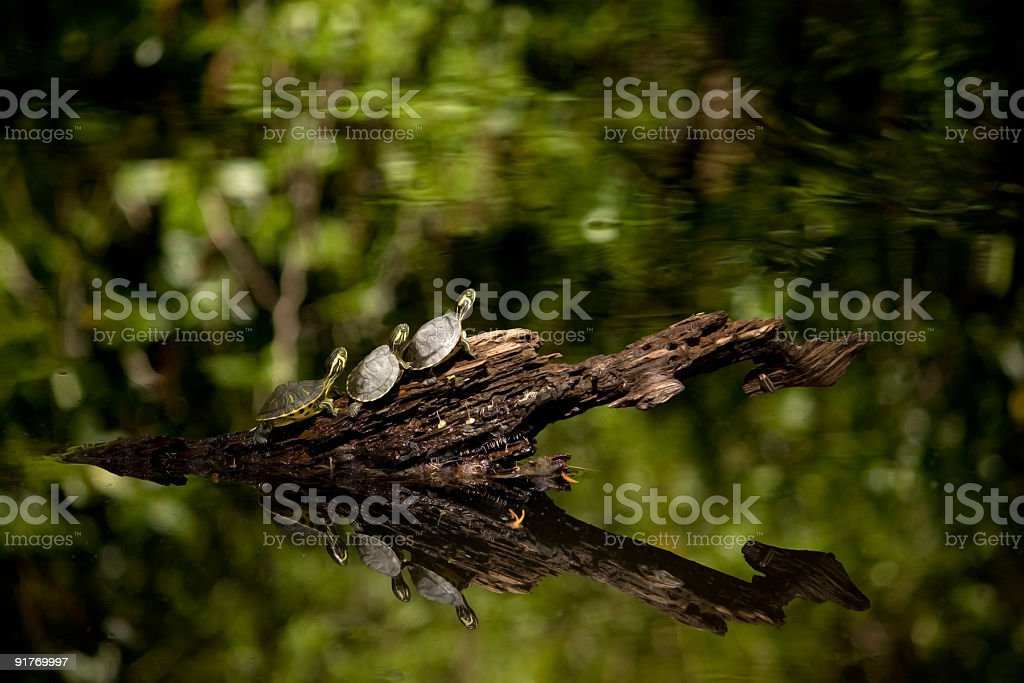 Three Little Turtles Getting Ready to Dive into a Pond  Animal Stock Photo