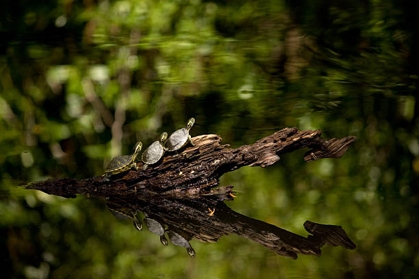 Three Little Turtles Getting Ready to Dive into a Pond stock photo