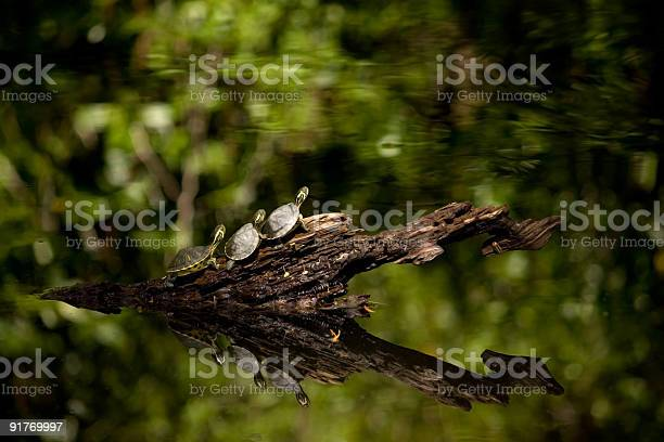Three Little Turtles Getting Ready To Dive Into A Pond Stock Photo - Download Image Now