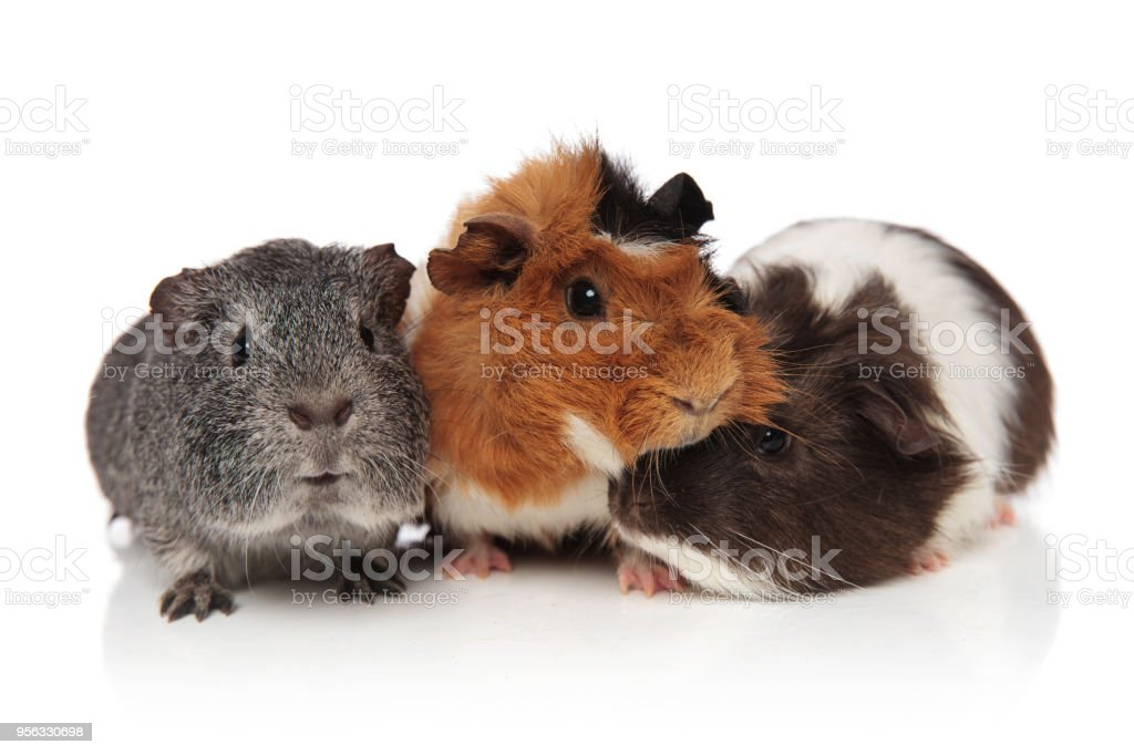 three lovely guinea pigs playing stock photo