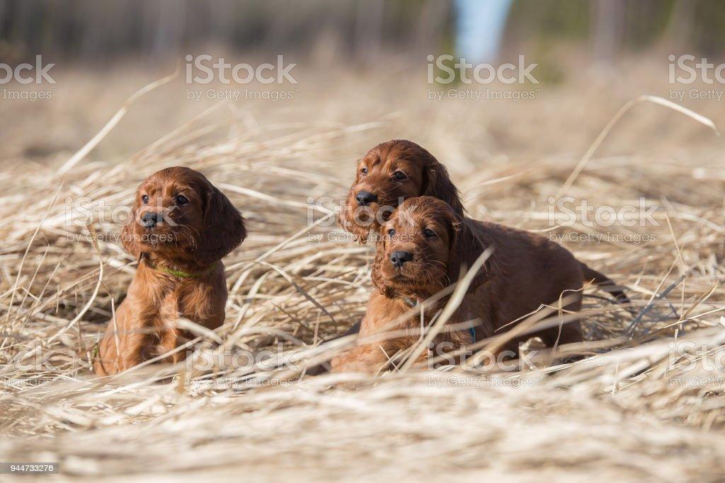 Three loving puppies stock photo