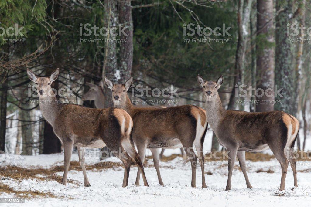 Fotografía de Tres Magníficos Ciervos Manada De Ciervos Hembra Gran ...