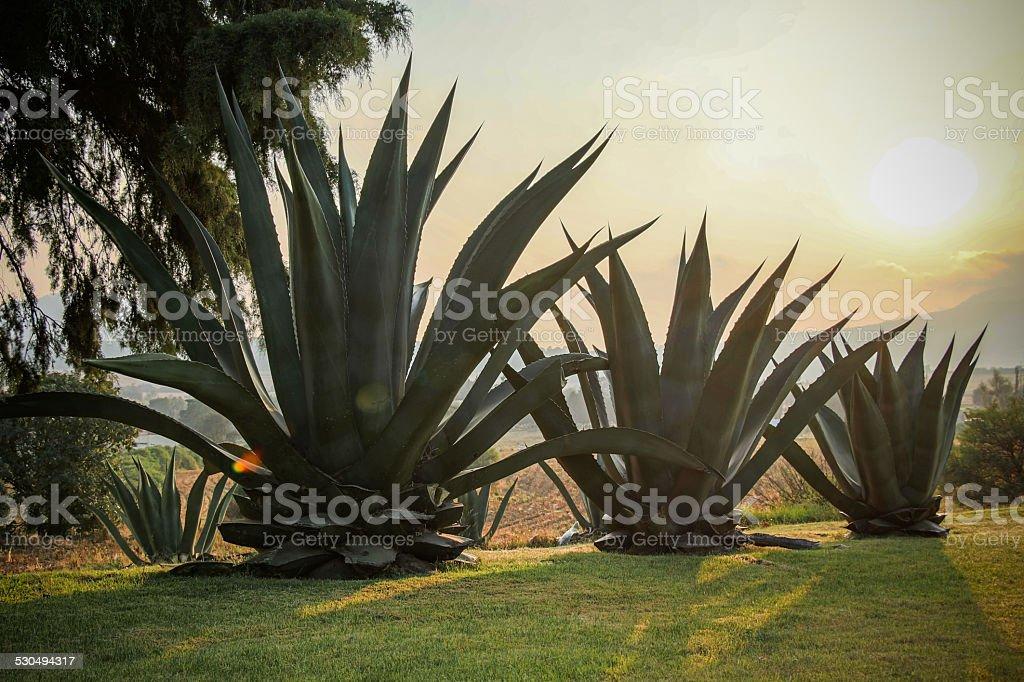 Three Magueyes stock photo