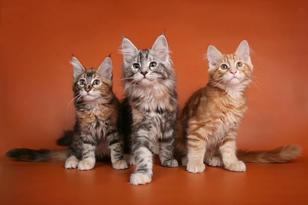 Three maine coon kittens picture id146891929?b=1&k=6&m=146891929&s=612x612&w=0&h=rq avgtlgnahhnuns8rcmtaomudpv0wnr8gjlduryno=