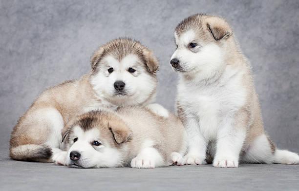 Three malamute puppies stock photo
