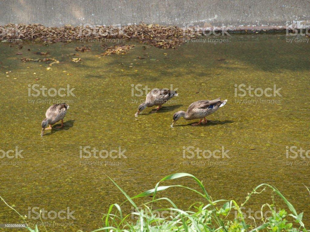 Three Mallard Ducks Feeding In A Gravel Creek Bed stock photo